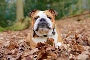 Bulldogul american are capul mare şi o înfăţişare uşor atipică