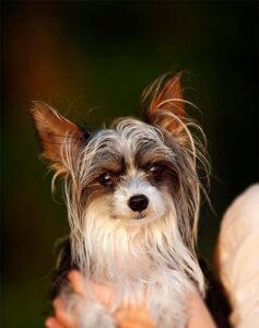 Câinele chinezesc cu creastă la vârsta adultă