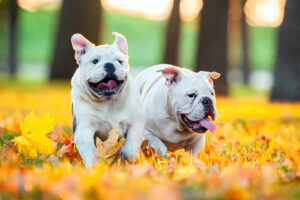 Doi Bulldogi Englezi la joacă reprezintă o imagine simpatică şi drăgălaşă a celor mai sensibili bulldogi