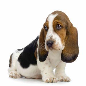 Ochii mari şi expresivi ai unui câine din rasa Basset Hound te vor dezarma imediat