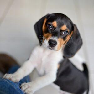 Pare nervos, dar nu, aşa este fizionomia unui Beagle