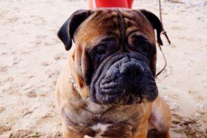 Portretul unui BullMastiff, un câine cu ochii calzi, blânzi