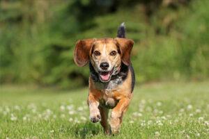 Un Beagle făcând ceea ce ştie mai bine să facă un câine din această rasă, aleargă