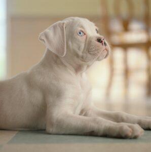 Un Boxer albinos, un câine extrem de rar