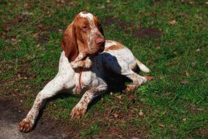 Un Brac Italian ştie să se şi odihnească, în ciuda faptului că este unul dintre cei mai activi câini din întreaga lume