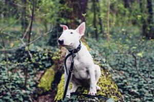 Un Bull Terrier în pădure, cu zgarda pusă la gât