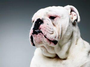 Un Bulldog american de culoare albă