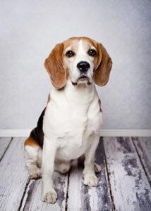 Un adult din rasa Beagle