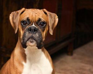 Un câine alert, atent şi foarte curios