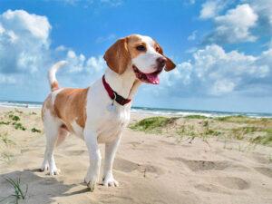 Un câine din rasa Beagle, pe plajă, extrem de atent şi de interesat la ce se întâmplă în jurul său