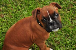 Un superb căţeluş din rasa Boxer