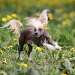 Câine chinezesc cu creastă