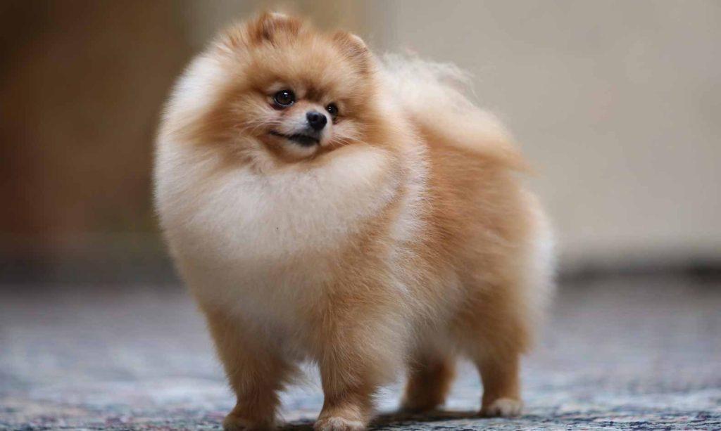 Pomeranian, un caine mititel dar extrem de curajos - Veterinarul Pet