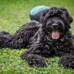 Terrierul negru rusesc