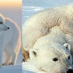 Care sunt animalele care trăiesc la Polul Nord