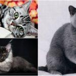 Cele mai frumoase rase de pisici gri. FOTO