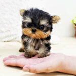 De ce sunt atât de populari câinii toy și mini toy. De unde vine aceste rase