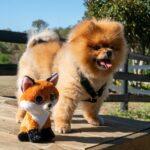 20 lucruri inedite și complet neștiute despre rasa Pomeranian
