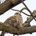 10 lucruri inedite despre Guguștiuc. Cum a reușit să devină una dintre cele mai comune păsări din România
